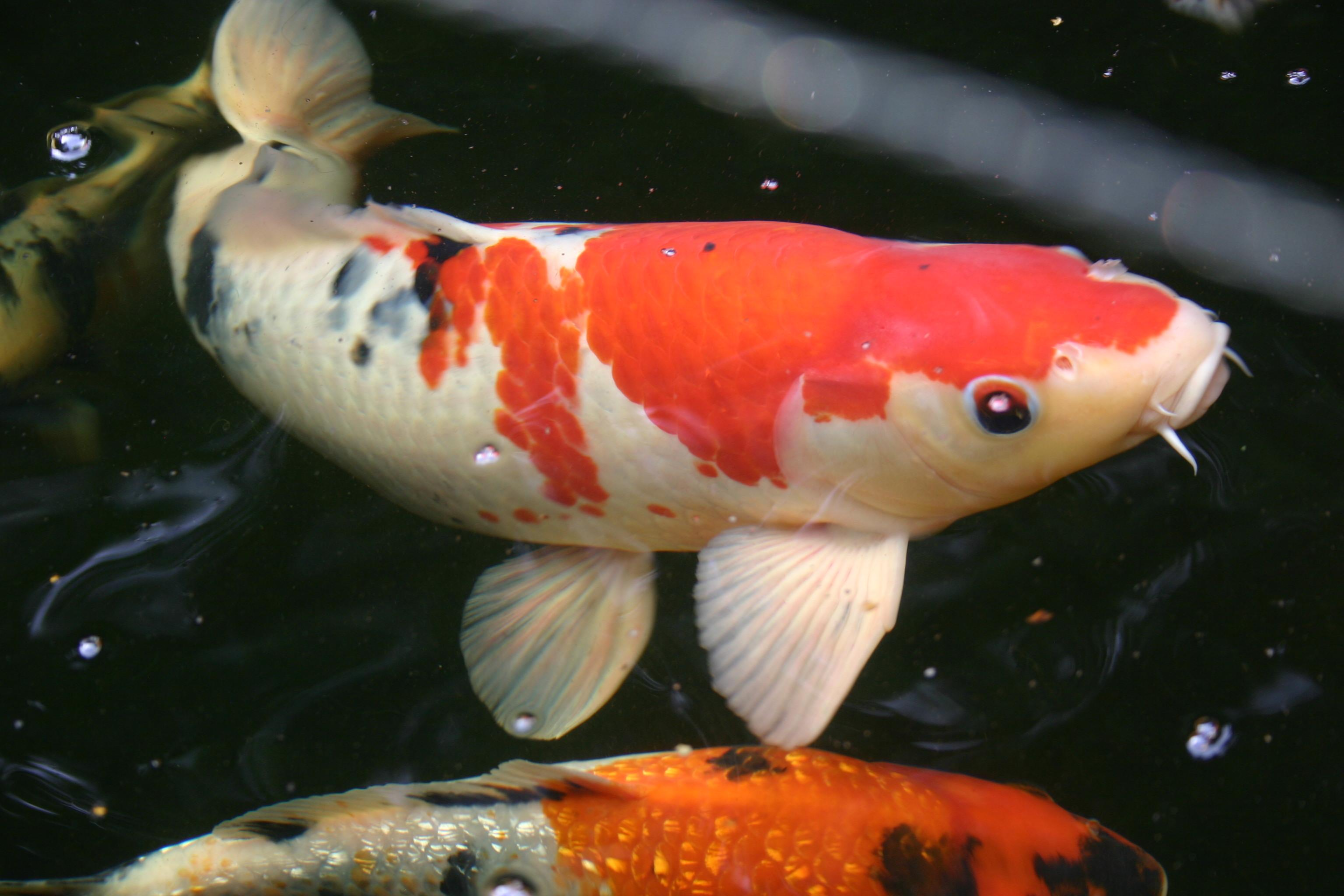 Vijvervissen voor in uw vijver vijver for Vissen vijver