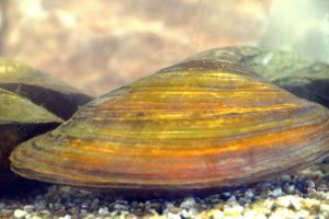 zoetwater mossel
